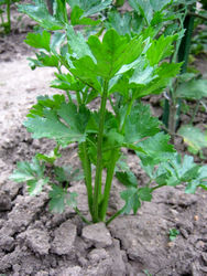 Miřík celer